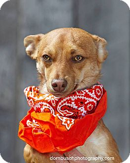 Terrier (Unknown Type, Medium)/Chihuahua Mix Dog for adoption in Heber City, Utah - Bear