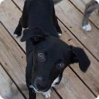 Border Collie Mix Dog for adoption in Overland Park, Kansas - Parker