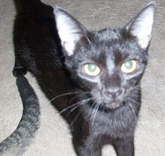 Domestic Shorthair Kitten for adoption in Morriston, Florida - EMILIA