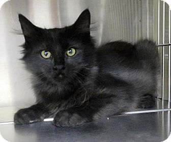 Domestic Mediumhair Kitten for adoption in Montgomery City, Missouri - Gotham