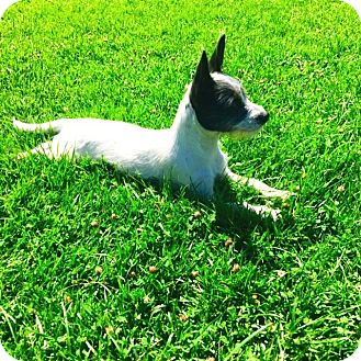 Jack Russell Terrier/Border Terrier Mix Puppy for adoption in Rancho Cucamonga, California - Jasmine