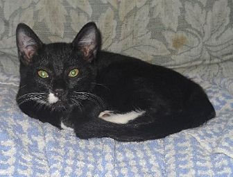Domestic Shorthair Cat for adoption in Walnut Creek, California - Jupiter