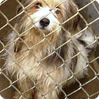 Adopt A Pet :: Daisy - Oswego, IL