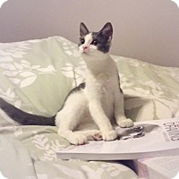 Domestic Shorthair Kitten for adoption in Lombard, Illinois - Figaro