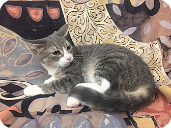 Domestic Shorthair Kitten for adoption in Highland Park, New Jersey - Mira