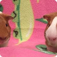 Adopt A Pet :: Wigglytuff - Steger, IL