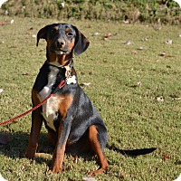 Adopt A Pet :: Jazz - Music Litter - Acworth, GA