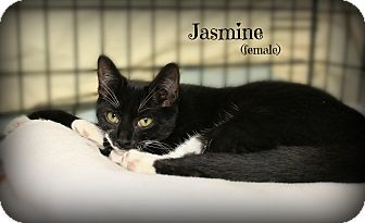 Domestic Longhair Cat for adoption in Glen Mills, Pennsylvania - Jasmine