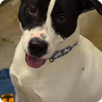 Pointer Mix Dog for adoption in Niagara Falls, New York - Colin
