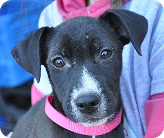 Labrador Retriever Mix Puppy for adoption in Atlanta, Georgia - Madison