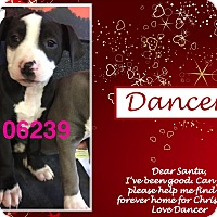 American Bulldog/Labrador Retriever Mix Puppy for adoption in Ringwood, New Jersey - Dancer