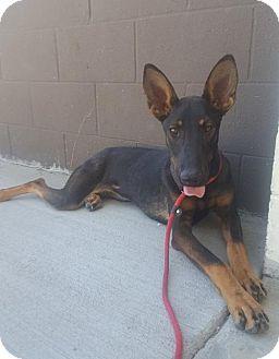 Belgian Malinois/Doberman Pinscher Mix Dog for adoption in Seattle, Washington - Brooke