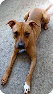 Boxer/Labrador Retriever Mix Dog for adoption in Grafton, Wisconsin - Danny Boy