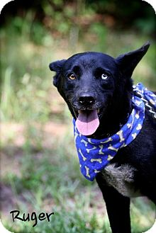 Australian Cattle Dog Mix Dog for adoption in Wilmington, Delaware - Ruger