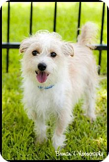 jack russell maltese mix rascal adopted dog houston tx jack russell terrier 4169