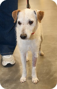 Jack Russell Terrier Mix Dog for adoption in Loudonville, New York - Bisoh
