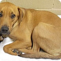 Adopt A Pet :: Copper - Wickenburg, AZ