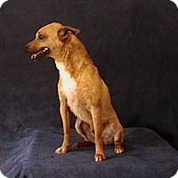 Chihuahua Mix Dog for adoption in Albany, New York - Timon