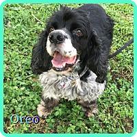 Adopt A Pet :: Oreo - Hollywood, FL