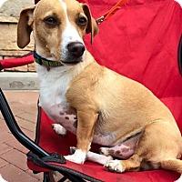 Adopt A Pet :: Chadwick  'Chad' - Phoenix, AZ