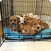 American Pit Bull Terrier/Labrador Retriever Mix Puppy for adoption in Long Beach, California - Bella's Pups