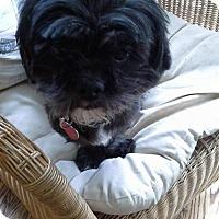 Adopt A Pet :: Noireau - Kirkland, QC