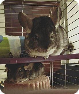 Chinchilla for adoption in Aurora, Illinois - Muffy and Buffy