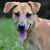 Labrador Retriever/Mountain Cur Mix Dog for adoption in Asheville, North Carolina - Sharpie