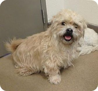 Brussels Griffon/Terrier (Unknown Type, Medium) Mix Dog for adoption in Apple Valley, California - Marley #156987