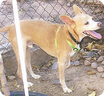 Terrier (Unknown Type, Medium)/Chihuahua Mix Dog for adoption in Phoenix, Arizona - Billy