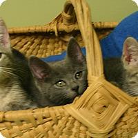 "Adopt A Pet :: Batman ""Kitten"" - Hastings, NE"