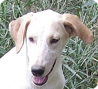 Labrador Retriever Mix Puppy for adoption in Preston, Connecticut - Aspen AD 12-23-16