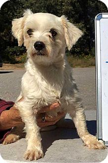 Maltese Mix Dog for adoption in New York, New York - Snowball! *Adoption Pending*