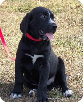 Great Dane/Labrador Retriever Mix Puppy for adoption in parissipany, New Jersey - chevy/ADOPTED