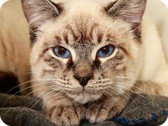 Siamese Cat for adoption in Camarillo, California - *PRINCE