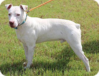 Boxer Mix Dog for adoption in Denver, Colorado - Commander