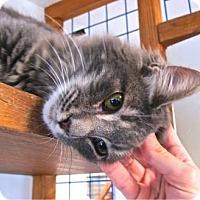 Maine Coon Kitten for adoption in Davis, California - Quicksilver