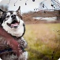 Alaskan Malamute Mix Dog for adoption in Seattle, Washington - DESMOND