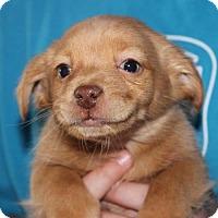 Adopt A Pet :: Baby Rudolph - Potomac, MD