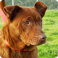 Shepherd (Unknown Type) Mix Dog for adoption in Grants Pass, Oregon - Spice