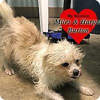 Adopt A Pet :: Yeti - San Leon, TX