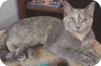 Domestic Shorthair Kitten for adoption in Miami, Florida - Bijou
