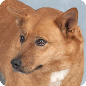 Spitz (Unknown Type, Medium) Mix Dog for adoption in Chicago, Illinois - Ginger