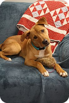 Labrador Retriever/Boxer Mix Dog for adoption in Homewood, Alabama - Chipper