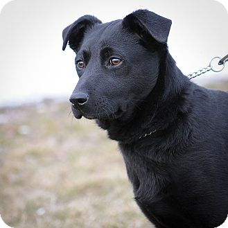 Labrador Retriever Mix Puppy for adoption in Mt. Prospect, Illinois - Valentino