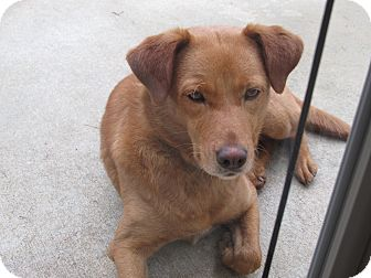 Labrador Retriever/German Shepherd Dog Mix Dog for adoption in Conyers, Georgia - Isabella