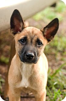 Puzzle | Adopted Puppy | Greensboro, GA | Belgian Malinois ...