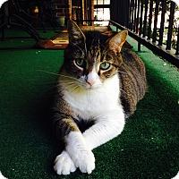 Adopt A Pet :: Bogart - St. Louis, MO