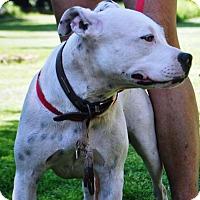 American Bulldog/Pit Bull Terrier Mix Dog for adoption in Phoenix, Arizona - Shannon