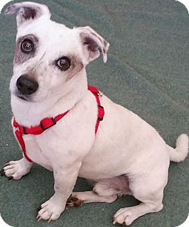 Jack Russell Terrier/Terrier (Unknown Type, Small) Mix Dog for adoption in Phoenix, Arizona - Topher